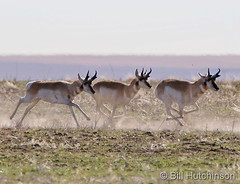 March 17, 2020 - Pronghorn on the run. (Bill Hutchinson)