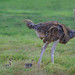 Ostrich with her three chicks in Amboseli National Park, Kenya, East Africa