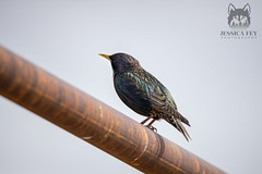 March 17, 2020 - A starling hanging out. (Jessica Fey)