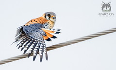 March 17, 2020 - An American kestrel showing off. (Jessica Fey)