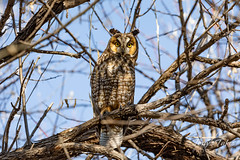 March 15, 2020 - A long eared owl paying attention. (Tony's Takes)