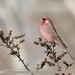 Great Rosefinch (Carpodacus rubicilla)