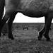 Zeeland - Konik-horses