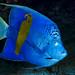 Yellowbar Angelfish - Pomacanthus maculosus
