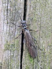 Photo of Nemoura avicularis, Kirkandrews-upon-Esk, 18 March 20 (1 of 2)