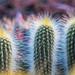 Aura of cacti