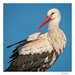 White stork portrait