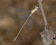 A male Dusky Spreadwing damselfly
