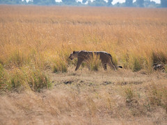 Lioness on Prowl, Chobe National Park, Botswana