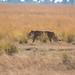 Lioness on Prowl, Chobe National Park, Botswana