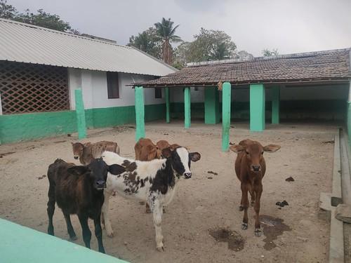 Calf Pen - Vidyalaya dairy - IARD, Coimbatore