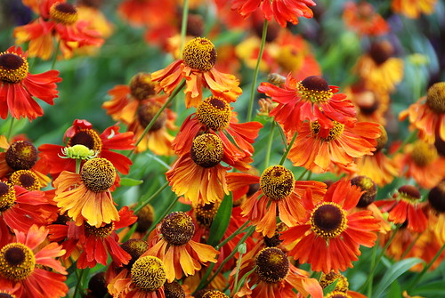 Heleniums Can Still Bring Colour and Beauty to a Late Summer Garden!