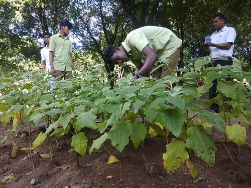Maturity Assessment and Harvesting in Brinjal - IARD, Coimbatore