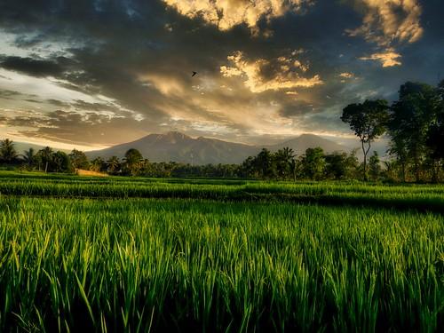 Rizières Lombok (Indonésie)