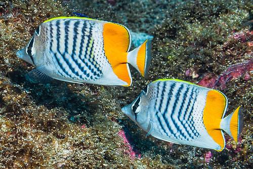 Madagascar Butterflyfish - Chaetodon madagaskariensis