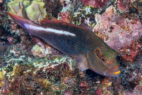 Arc-eye Hawkfish - Paracirrhites arcatus