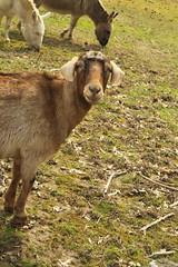 Goatielocks
