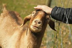 Goatie enjoying a head scratch