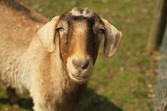 Goatielocks or Jarjar Binks?
