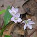 Spring Beauty  (Claytonia caroliniana) - this week