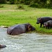 A Meeting of Hippos