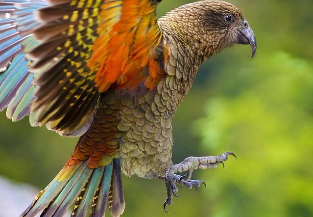 高山鸚鵡 (kea)的特徵為橄欖綠色的羽毛,翅膀尾端是藍綠色。