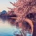Epic Cherry Blossoms
