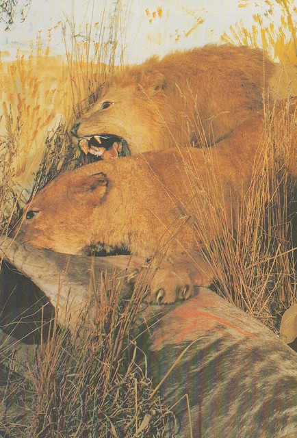 African Lions in the Wildlife Museum