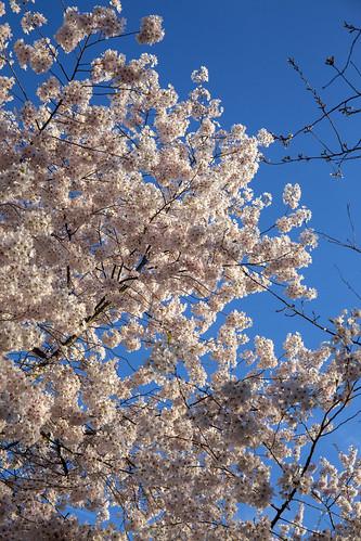Washington DC 22 Mar 2020  (187) Cherry Blossoms