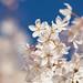 Victoria Blossoms 2