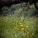 California Poppies in Green Grass No2