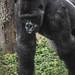 Shomari, Gorille des plaines de l'Ouest