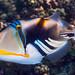 Picasso Triggerfish - Rhinecanthus aculeatus