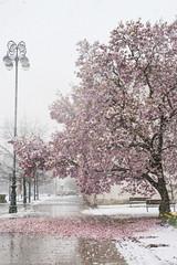 Proljeće pod snijegom...