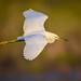 Snowy egret in flight over marsh at Ten Thousand Islands National Wildlife Refuge near Naples, Florida