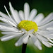 A Daisy in Spring / Makes me Sing