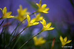 Anglų lietuvių žodynas. Žodis yellow light reiškia geltona šviesa lietuviškai.