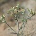 Wright rabbit tobacco, Pseudognaphalium canescens