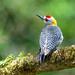 Hoffman's Woodpecker (male)