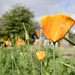 California poppies blooming at Oakland Cemetery