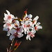 Cherry blossoms (桜)