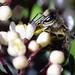 20200325_Bee in the garden