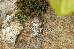 Photo of 49.020 Argyrotaenia ljungiana, The Strone, Aberdeenshire
