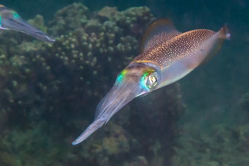 Bigfin Reef Squid - Sepiotheutis lessoniana