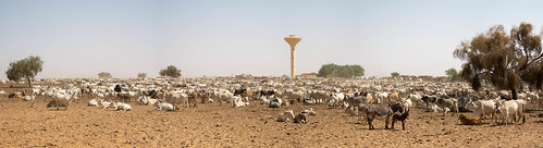 Cows at the waterwell
