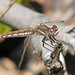 foty dragonfly:  Variegated meadowhawk (Sympetrum corruptum) !
