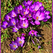 Purple Crocuses (Explored)