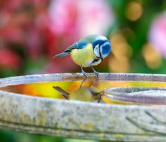 March 2020 garden blue tit reflection-1