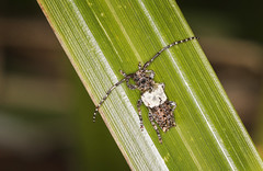 Photo of Greater Thorn-tipped Longhorn Beetle - Pogonocherus hispidulus
