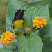 Bananaquit_Coerreba flaveola_Dominica_Lesser Antilles_DZ3A0514